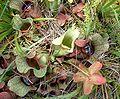 SarraceniaPurpurea05-07-29.jpg