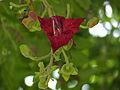 Sausage Tree (Kigelia africana) flower (11732994273).jpg