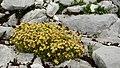 Saxifraga moschata (1).jpg