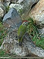 Scaly-bellied Woodpecker (Picus squamatus) (16894079610).jpg