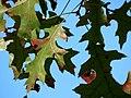 Scarlet Oak (30873596675).jpg