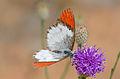 Scarlet Tip (Colotis danae annae) male on Vernonia (Polydora poskeana) (17209655297).jpg