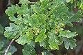 Schiermonnikoog - Zomereik (Quercus robur).jpg