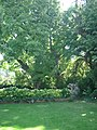 Schwarznussbaum.JPG