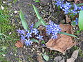 Scilla bifolia006.jpg