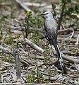 Scissor-tailed Flycatcher (46964268714).jpg