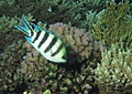 Scissortail sergeant (or Striptailed damselfish), Abudefduf sexfasciatus (6536727109).jpg