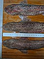 Scyliorhinus canicula 9.jpg