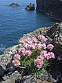 Sea Thrift at St Agnes Head - geograph.org.uk - 257041.jpg