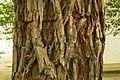 Sequoia sempervirens 03.jpg
