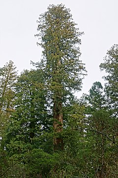 Sequoia sempervirens Big Basin Redwoods State Park 9.jpg
