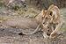 Serengeti Loewin2.jpg