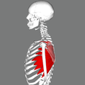 Serratus anterior muscles lateral.png