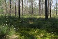 Sestroretsk swamp 2020-06-07-2.jpg