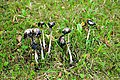 Shaggy ink cap (Coprinus comatus), third morning.jpg