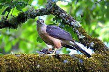 Sharp shinned hawk 2.jpg