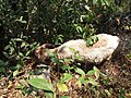 Sheep in the forest, dolakha1.jpg