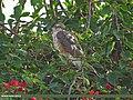 Shikra (Accipiter badius) (15272506684).jpg