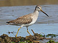 Short-billed Dowitcher RWD 2014b.jpg