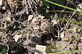 Short-horned Lizard (Phrynosoma hernandesi) Mount Wire, Utah (6855995640).jpg