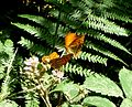 Silver- washed fritillary's feeding on bramble. - Flickr - gailhampshire.jpg