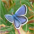 Silver-studded Blue. Plebejus argus. Male. - Flickr - gailhampshire (1).jpg