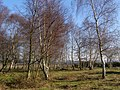 Silver birch trees on White Moor, New Forest - geograph.org.uk - 299677.jpg