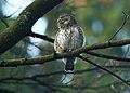 Singender Sperlingskauz (Glaudicium passerinum), Ostbelgien - Flickr - Frank.Vassen.jpg