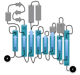 Dispersin B - Single Domain of Dispersin B: TIM Barrel (major substructure) shown in blue. α-Helices are represented by cylinders and β-strands represented by arrows