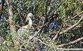 Skedstork Eurasian Spoonbill (14339377460).jpg