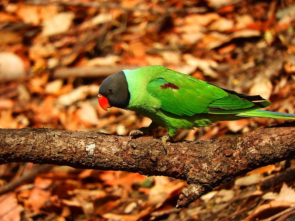 Slaty-headed parakeet scientific name Psittacula himalayana at Sattal DSCN9303 11