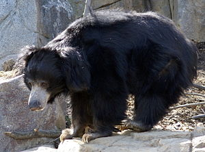 Sloth bear - A sloth bear at the National Zoo in Washington, D.C.