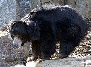 Sloth bear Species of bear