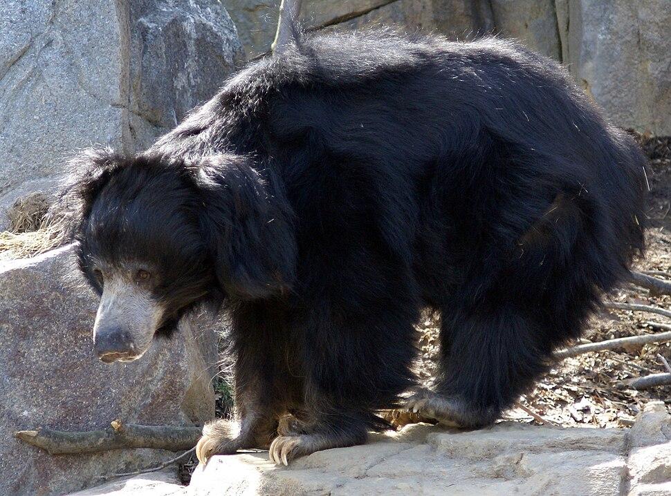 Sloth Bear Washington DC