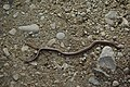 Slow worm - geograph.org.uk - 964591.jpg