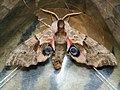 Smerinthus ocellatus - Eyed hawk-moth - Бражник глазчатый (40523379224).jpg