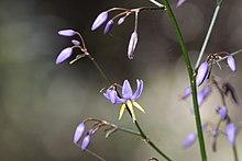 Smooth Flax Lily- Dianella longifolia (7075154909).jpg