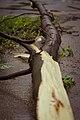 Snapped Tree (17181943072).jpg