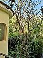 Solanales - Brugmansia × candida - 21.jpg