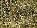 Solanum sp, Flora of Tanzania 3863 Nevit.jpg