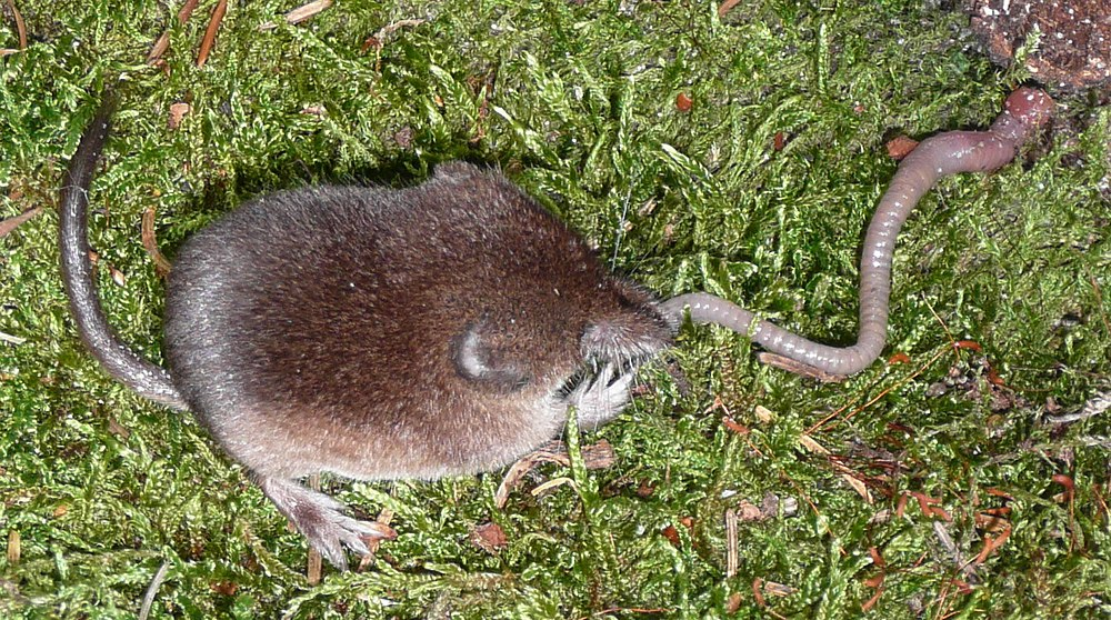 The average litter size of a Common shrew is 6