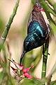 Souimanga sunbird (Cinnyris sovimanga apolis) male.jpg
