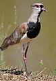 Southern Lapwing (Vanellus chilensis) (9610090498).jpg