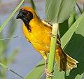 Southern Masked Weaver (Ploceus velatus) male (32762140665), crop.jpg