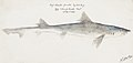 Southern Pacific fishes illustrations by F.E. Clarke 17.jpg