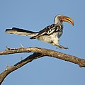 Southern Yellow-billed Hornbill, Tockus leucomelas, at Marakele National Park, Limpopo, South Africa (45811868935).jpg