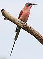 Southern carmine bee-eater, Merops nubicoides, Savuti marsh, Chobe National Park, Botswana (32462175475).jpg
