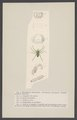 Sparassus - Print - Iconographia Zoologica - Special Collections University of Amsterdam - UBAINV0274 004 04 0032.tif