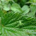 Speckled bush cricket (Leptophyes punctatissima) nymph, Sandy, Bedfordshire (7433236850).jpg