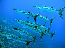 Sphyraena barracuda by NPS.jpg